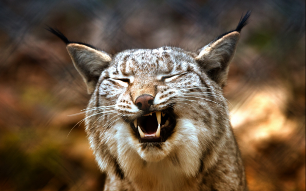 Once a Lynx, Always a Lynx!