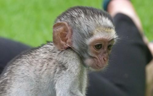 Bowie, a baby vervet monkey