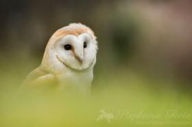 A Barn Owl by Stephanie Foote