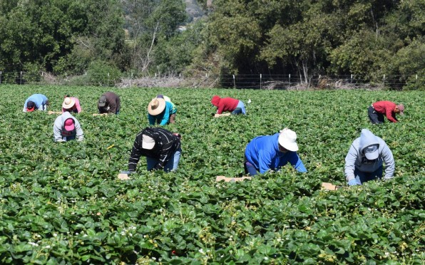 I-Stock: Seasonal farm workers pick and package strawberries.